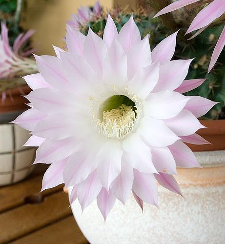 echinopsis.jpg